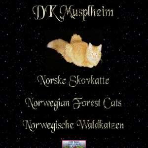 DK Musplheim Norske Skovkatte